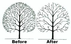 Tree Services Crown Thining